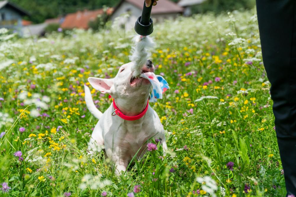 לבול טרייר יצר משחק חזק מאוד - LADOG - אילוף כלבים