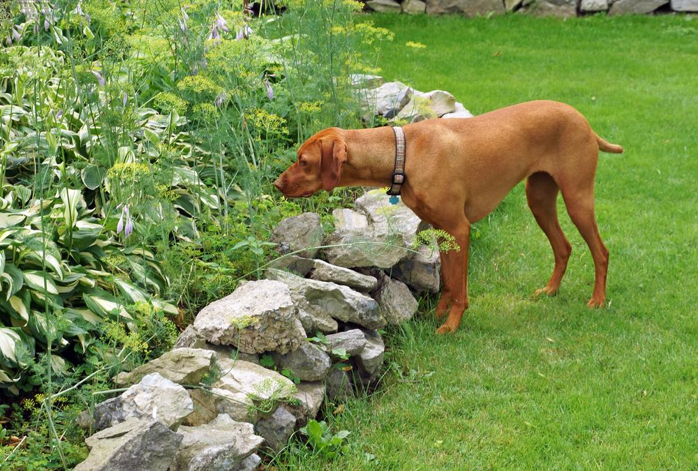 כלב ויזלה הונגרי - LADOG - אילוף כלבים מקצועי