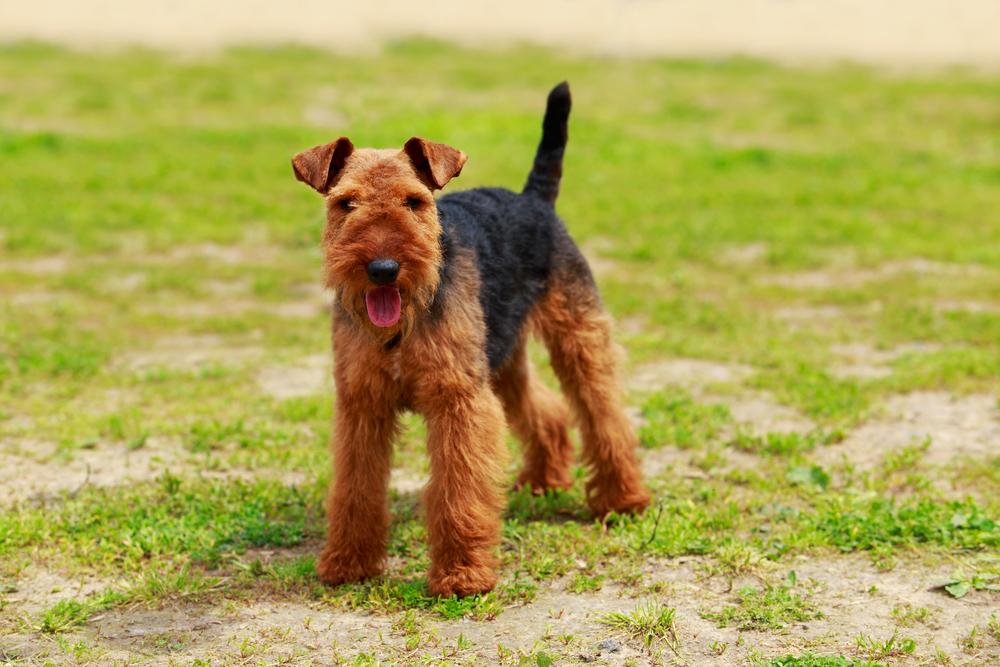 אירדייל טרייר צעיר - LADOG - אילוף כלבים מקצועי