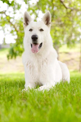 קורס אילוף מקיף לרועה שוויצרי-LADOG, כלבייה במרכז הארץ, מושב מגשימים.