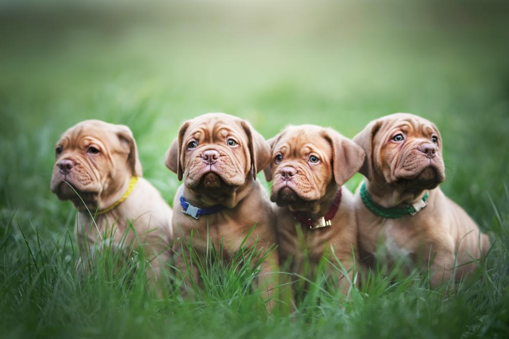 גורי דוג דה בורדו בני שבעה שבועות - LADOG - אילוף כלבים מקצועי