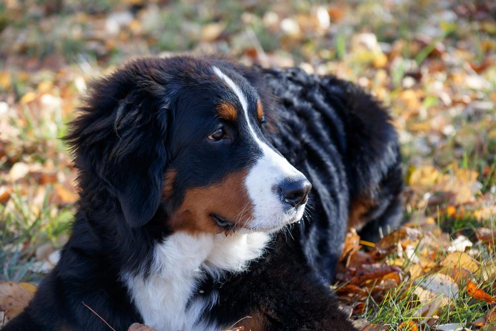 גור ברניז - בגיל שישה חודשים - LADOG - אילוף כלבים מקצועי