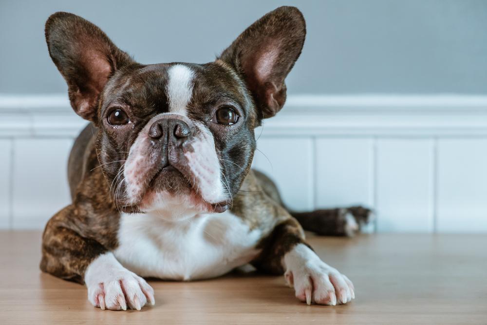 בוסטון טרייר מתאים לגידול בדירה - LADOG - מרכז מקצועי לאילוף כלבים