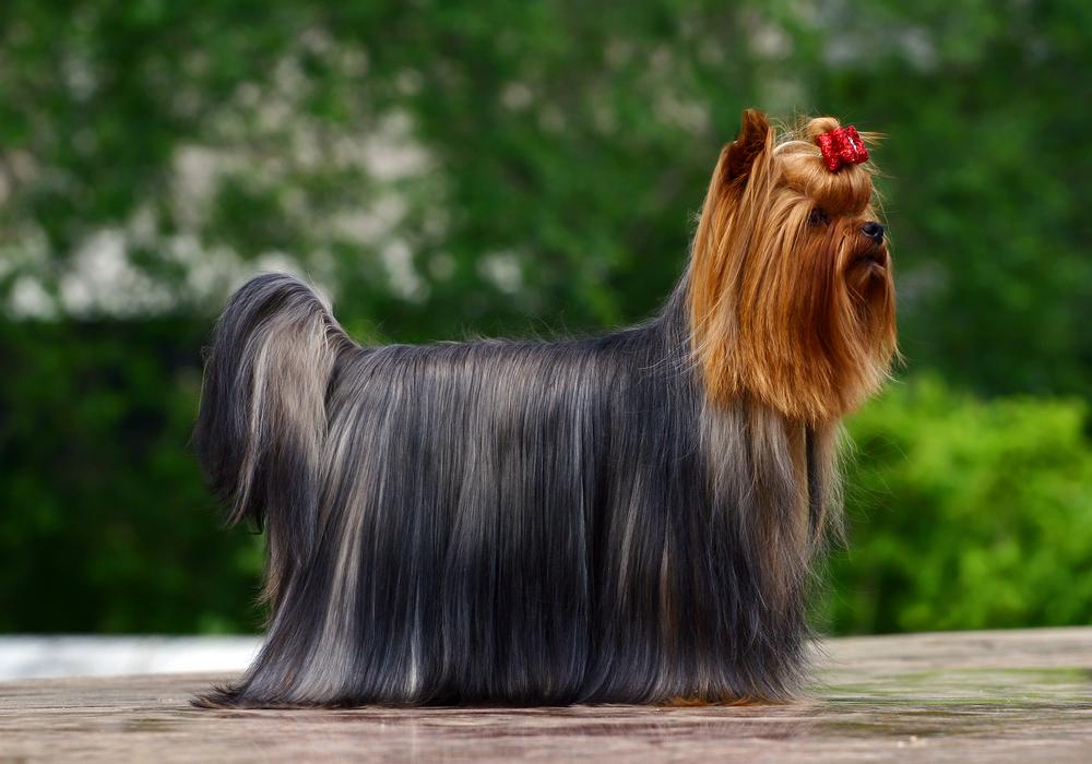 יורקשייר טרייר לפני תערוכה - LADOG - אילוף כלבים מקצועי