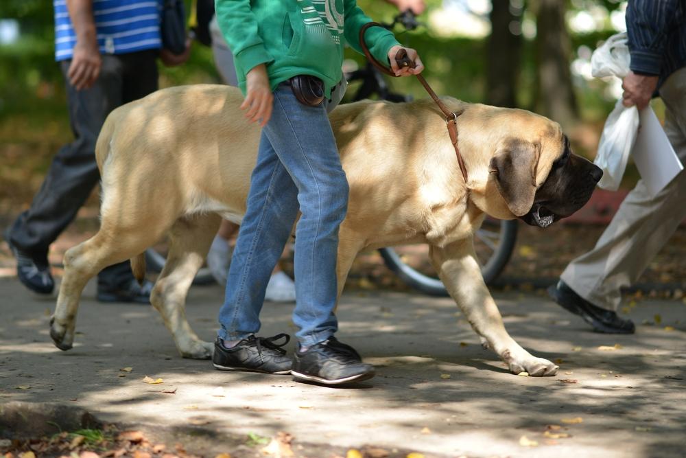חשוב לאלף את המסטיף להליכה נכונה ופקודת רגלי - LADOG - אילוף מקצועי