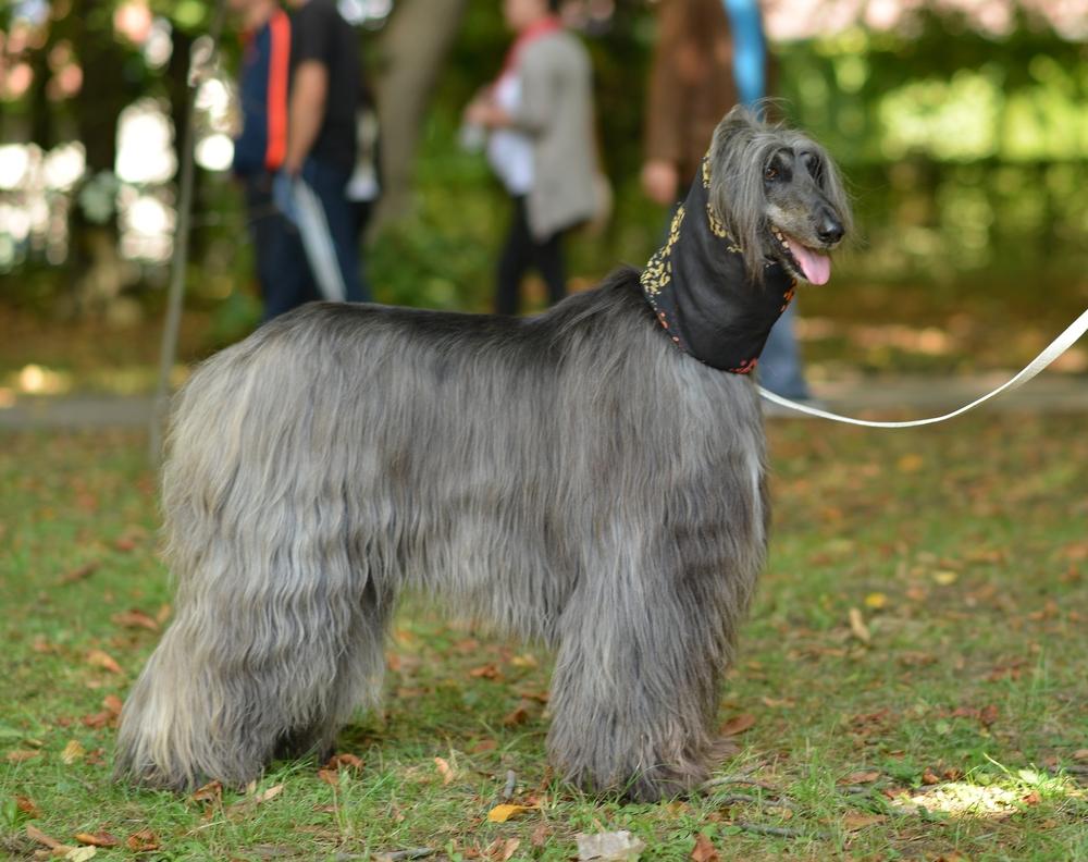 כלב אפגני אפור מייד לאחר סירוק - LADOG - אילוף מקצועי
