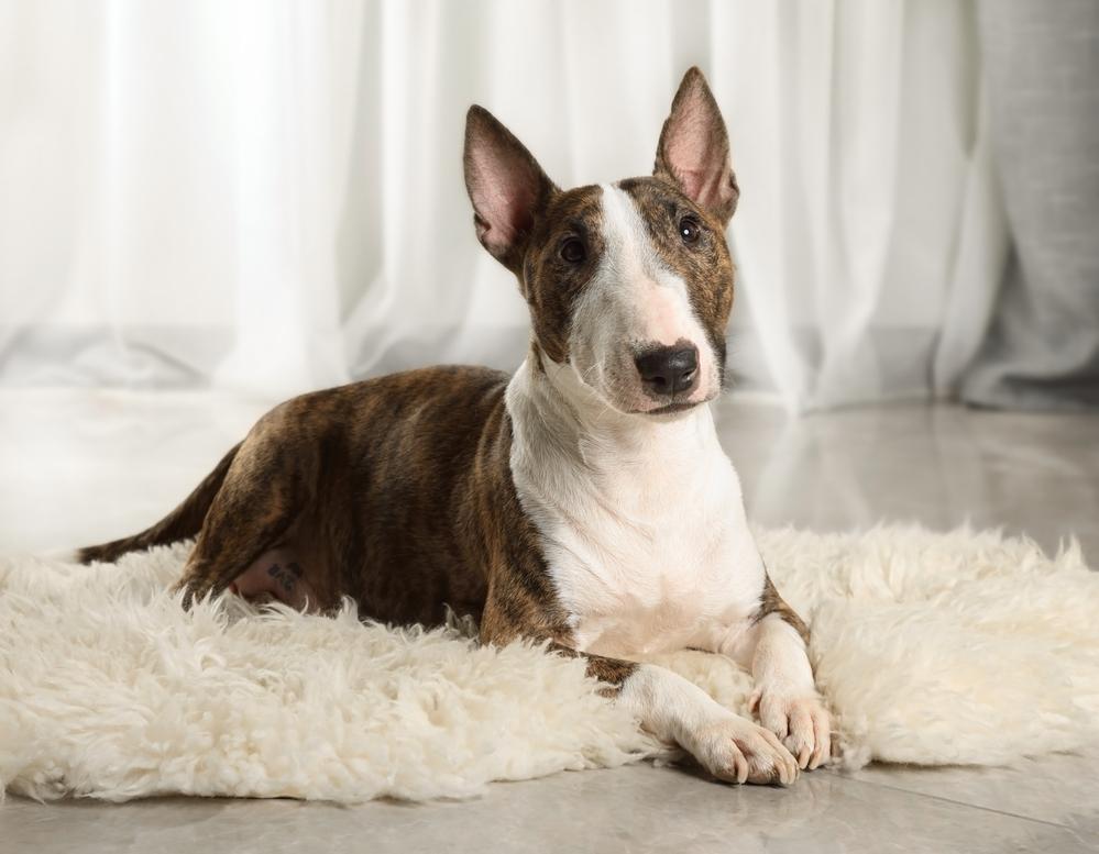 בול טרייר מיניאטורי, מתאים לגידול בדירה - LADOG - אילוף כלבים מקצועי