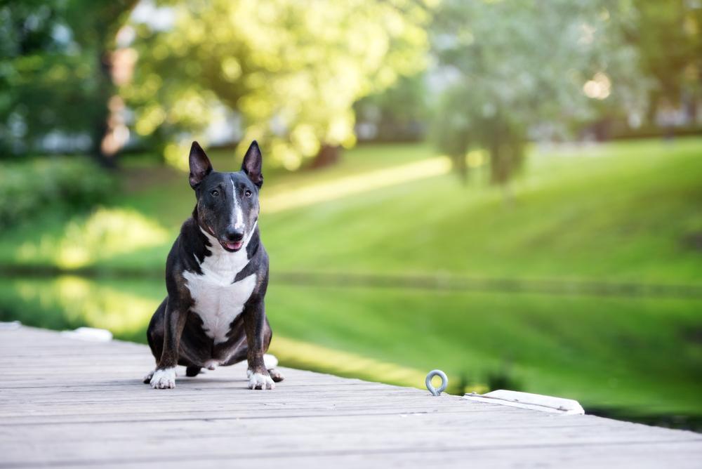 אילוף מקצועי לכלבי בול טרייר - LADOG - בול טרייר בצבע שחור לבן