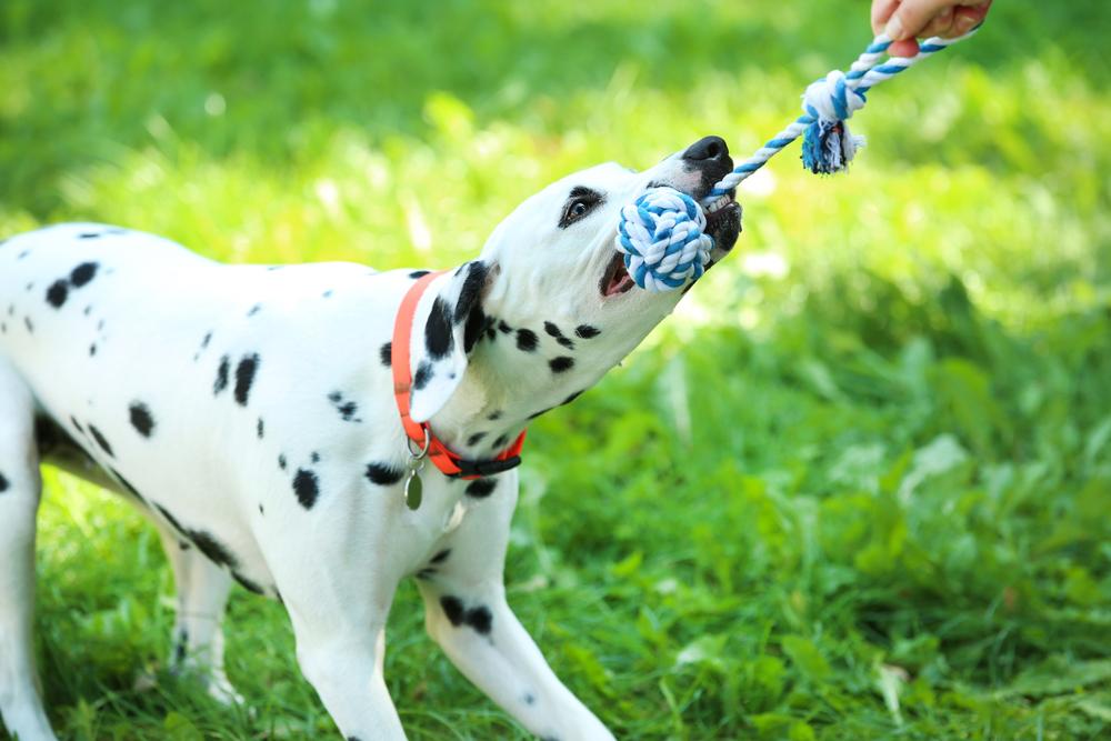 לכלבי דלמטי יצר משחק גבוה, אותו חשוב לקשר לפקודות - LADOG - אילוף מקצועי