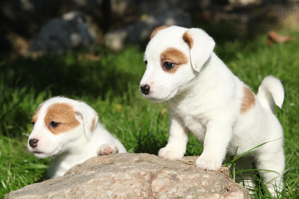 גורי ג'ק ראסל טרייר בני שמונה שבועות - LADOG - אילוף כלבים