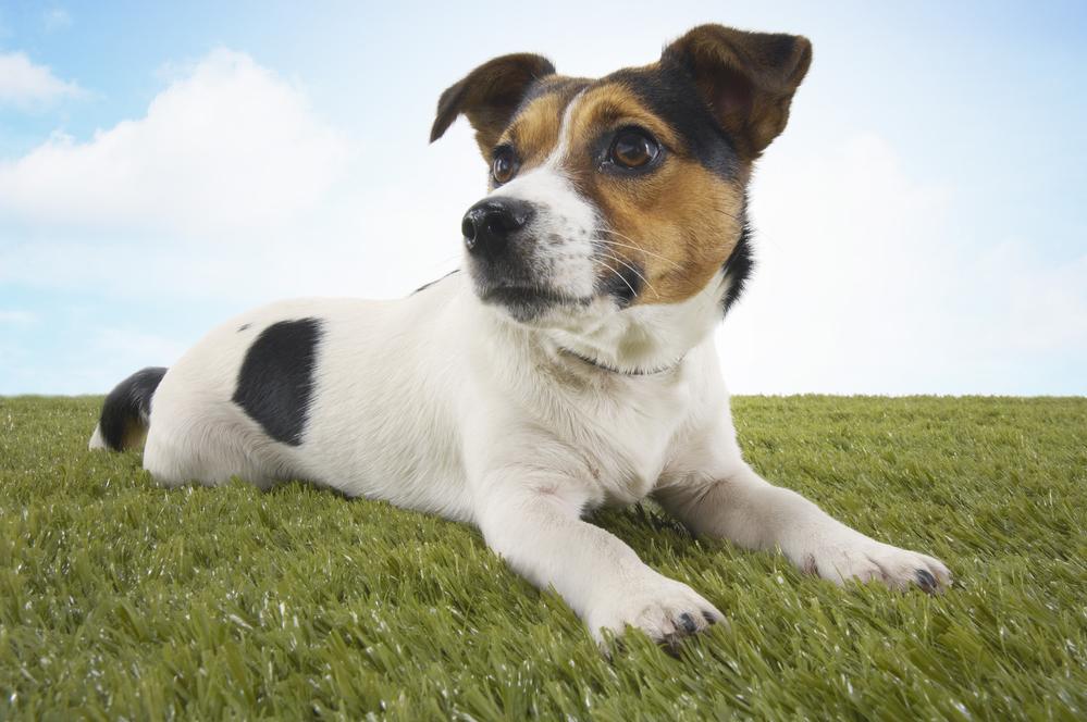 ג'ק ראסל טרייר - LADOG - אילוף כלבים מקצועי.