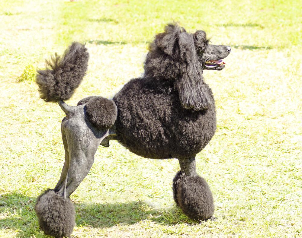 פודל ענק נחשב לכלב משפחה מצויין - LADOG - מרכז אילוף