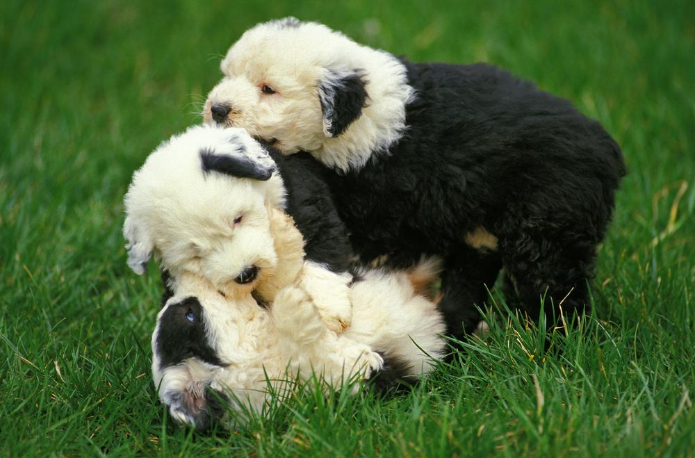 גורי צאן אנגלי עתיק - LADOG - אילוף כלבים מקצועי