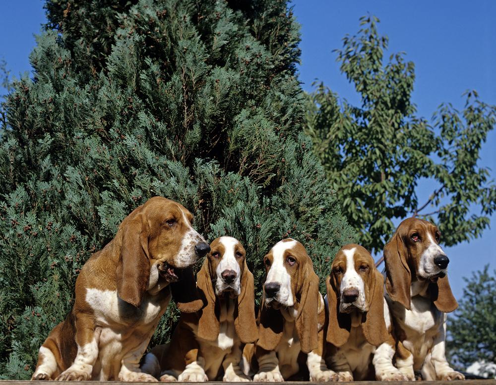 כלבי באסט ללא היררכיה נכונה, עלולים להפוך דומיננטיים- LADOG - אילוף מקצועי