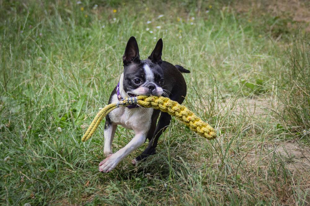 לכלבי הבוסטון טרייר יצר משחק גבוה, אותו חשוב לקשר לפקודות - LADOG - אילוף כלבים מקצועי