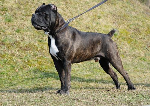 אילוף מקצועי לכלב קאנה קורסו איטלקי-LADOG