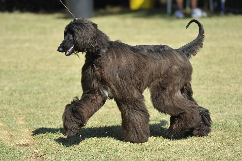 כלב רוח אפגני בצבע שחור בתערוכה - LADOG - אימון כלבים מקצועי