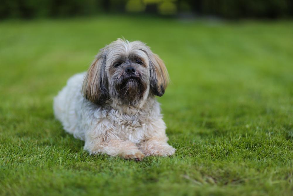 להאסה אפסו מסופר - LADOG - מרכז מקצועי לאילוף כלבים