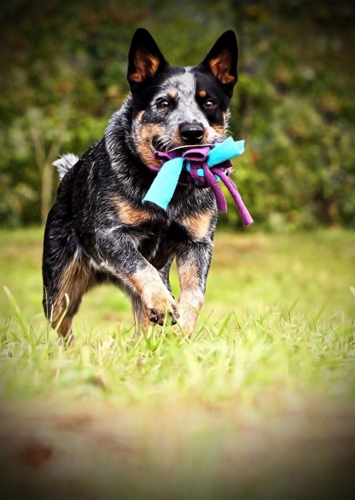 חשוב מאוד חקשר בצורה נכונה את המשחקים לפקודות האילוף לכלב הבקר האוסטרלי- LADOG