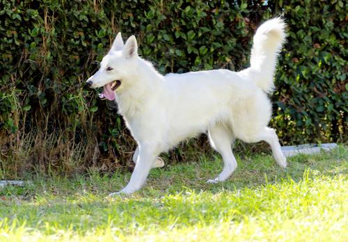 אילוף מקצועי לכלב רועה שוויצרי - LADOG