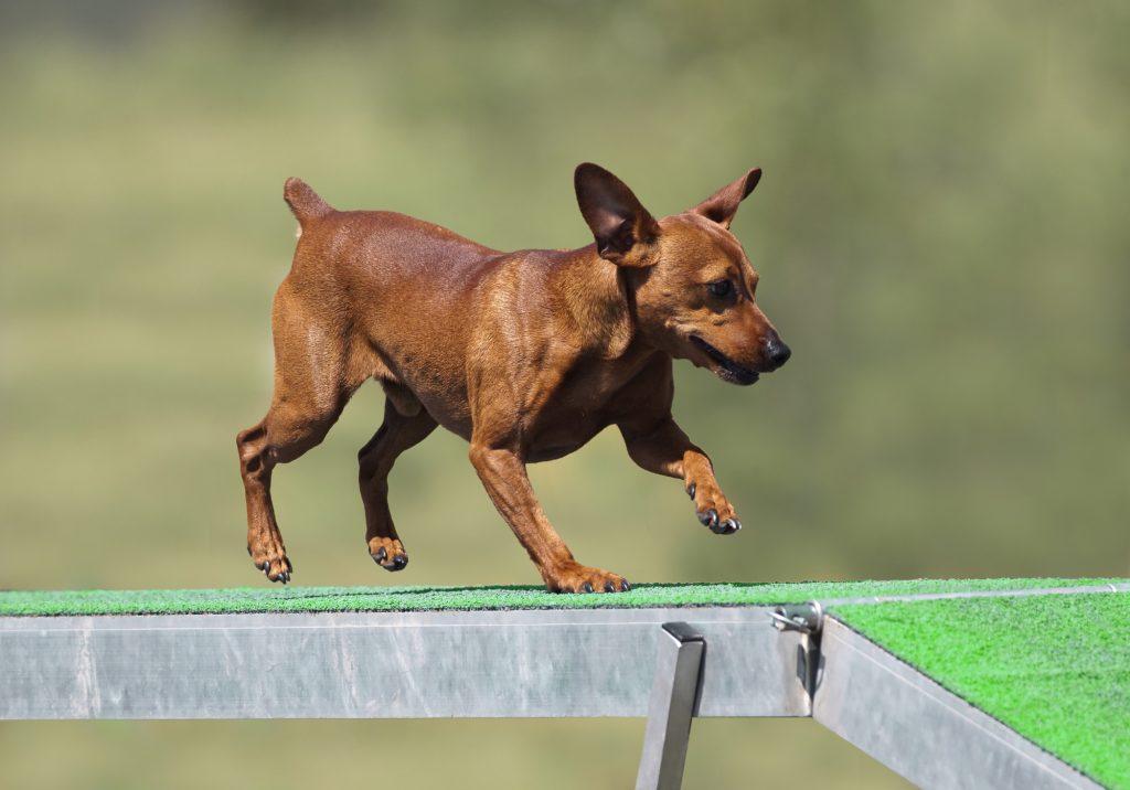 פינצ'ר נחשב לכלב מצוין ללימוד טריקים ומעברי מכשולים- LADOG