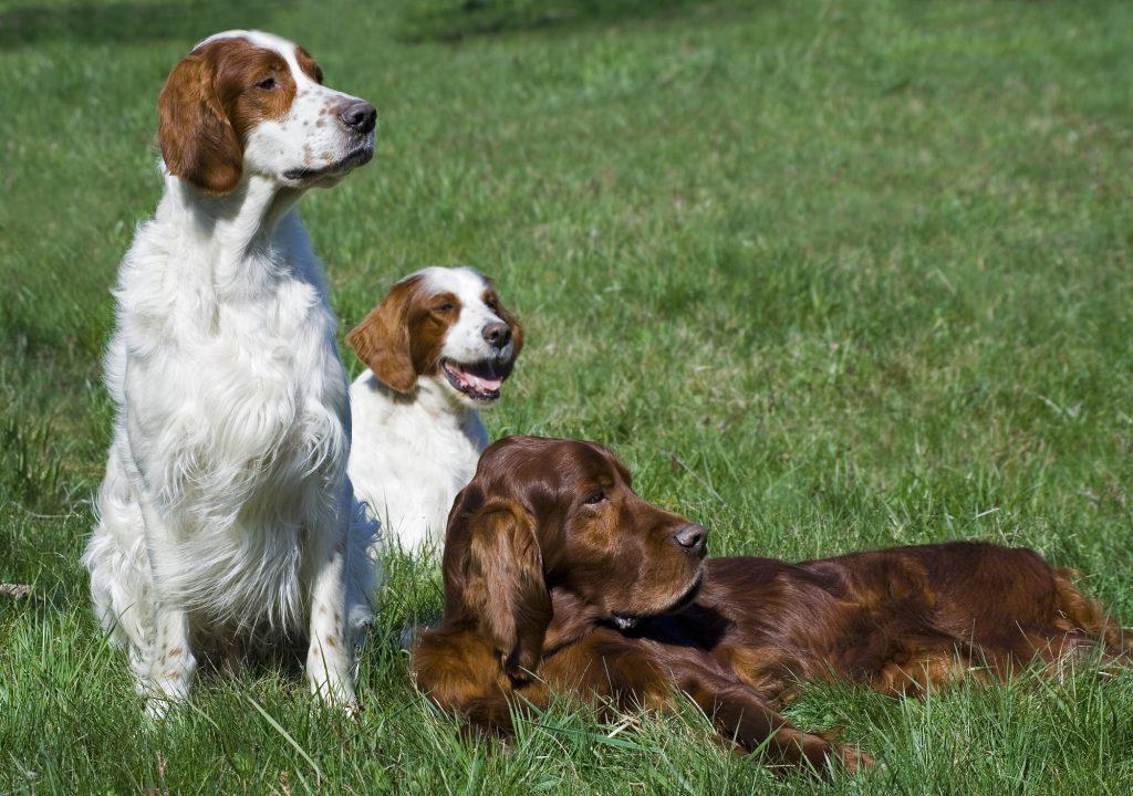 כלבי סטר אירי אדום ושילוב של לבן - LADOG