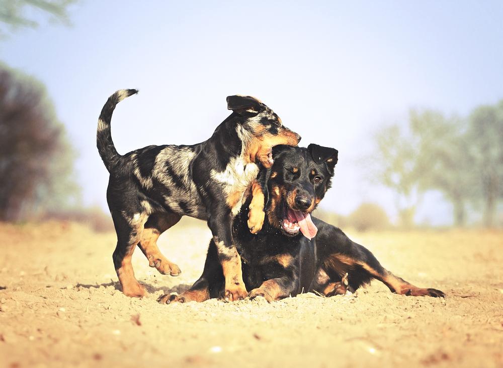 בוסרון צעיר ובוסרון הרלקין גור - LADOG - אילוף כלבים מקצועי