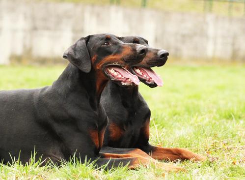 """כלבי דוברמן באילוף למשמעת בפקודה """"ארצה""""- LADOG"""