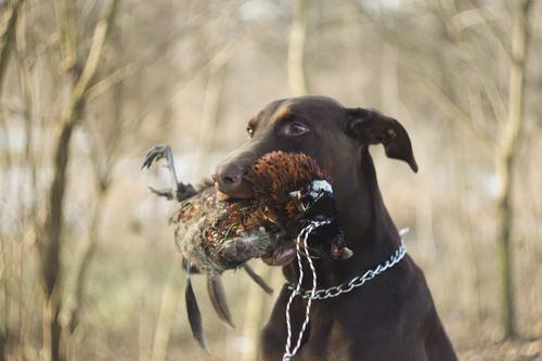 דוברן בעבר כלב ציד-LADOG