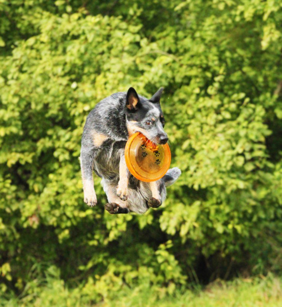 כלב בקר אוסטרלי נחשב לאחד הגזעים המובילים בעולם מבחינת יצר המשחק שלו - LADOG