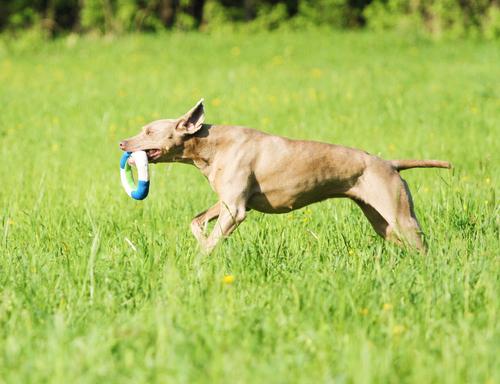 LADOG- שימוש ביצר המשחק לכלבי וימרנר, ושילוב המשחק למטרת אילוף למשמעת.