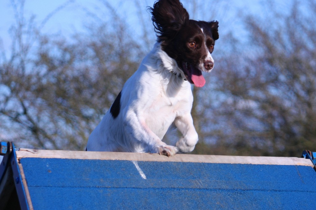 כלב ספרינגר מעולה במעבר מכשולים-LADOG