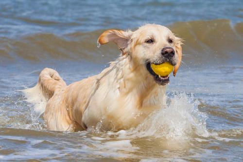 אילוף מתקדם לגולדן- LADOG-כלבי גולדן אוהבים מאוד מים