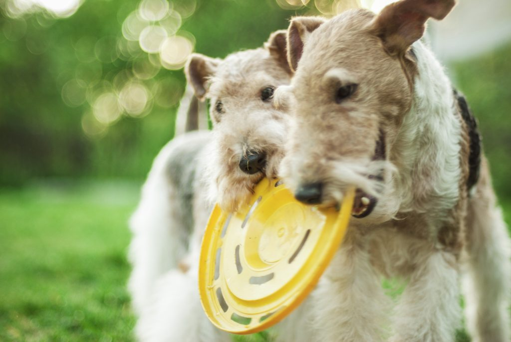 כלבי פוקס טרייר אוהבים מאוד משחקים - LADOG