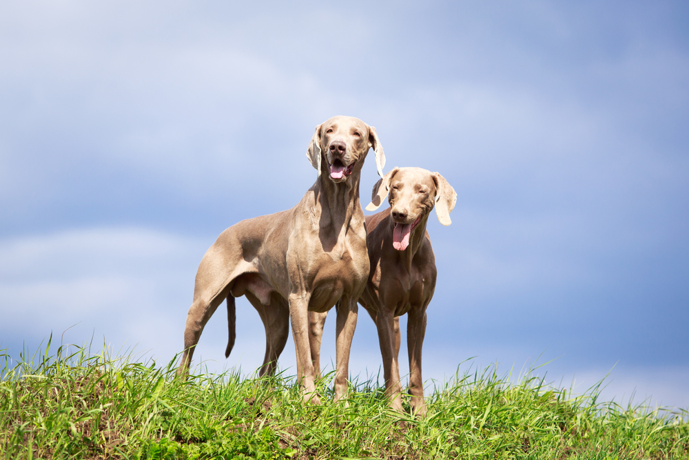 כלבי וימרנר זכר ונקבה - LADOG - מרכז מקצועי לאילוף כלבים
