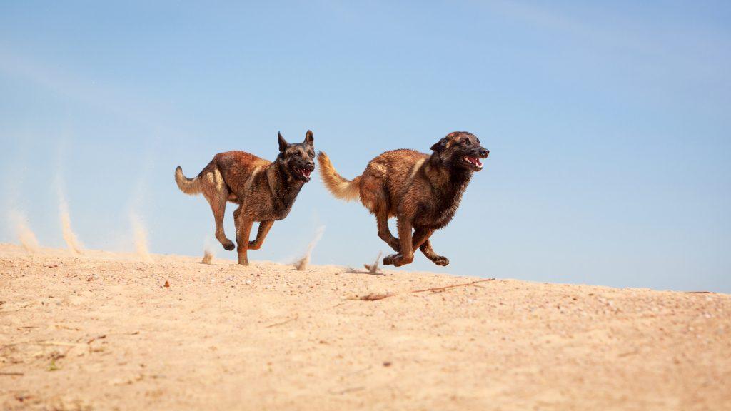 LADOG - Malinois Belgian Shepherd dog - אילוף כלבי מלינואה