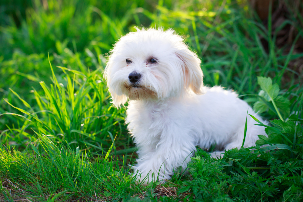 מלטז לאחר תספורת - LADOG - מרכז מקצועי לאילוף כלבים