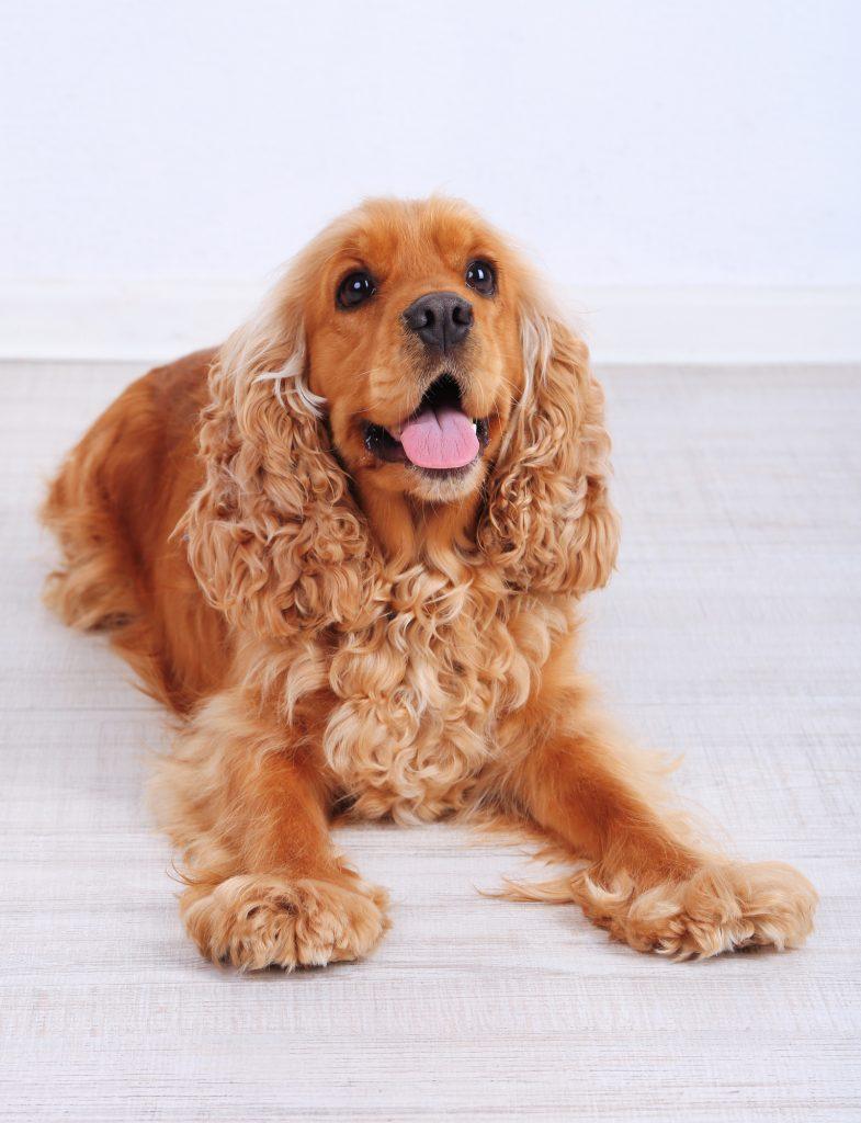 באימון נכון ניתן להגיע עם כלבי קוקר לרמות גבוהות מאוד של משמעת - LADOG