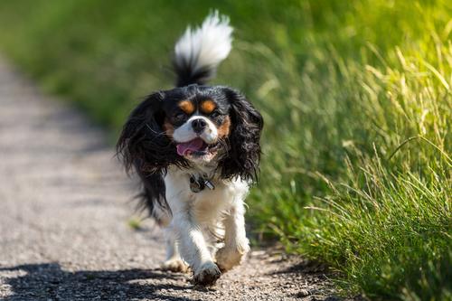אילוף כלבים המתאים לכלבי קאבליר קינג צ'ארלס - LADOG