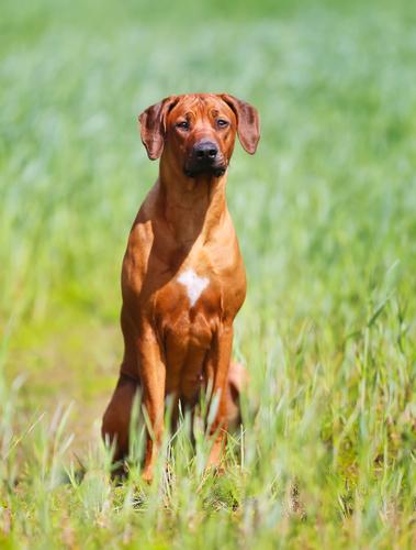 Rhodesian ridgeback dog קורס אילוף כלבים מקיף לכלבי ריצ'בק-LADOG