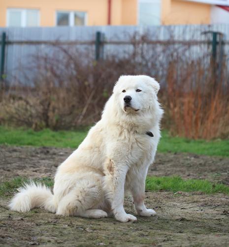 קורס אילוף למשמעת לכלב מרמנו - LADOG