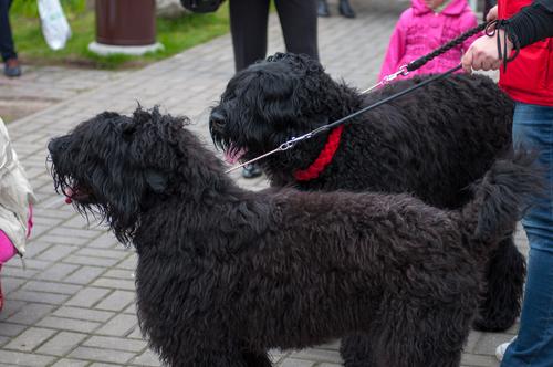 עיצוב אופי לכלבי טרייר רוסי שחור-LADOG-חשיפה נכונה למקומות חדשים