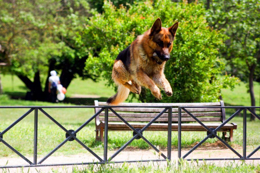 טיפול נכון בכלבי רועה גרמני - LADOG