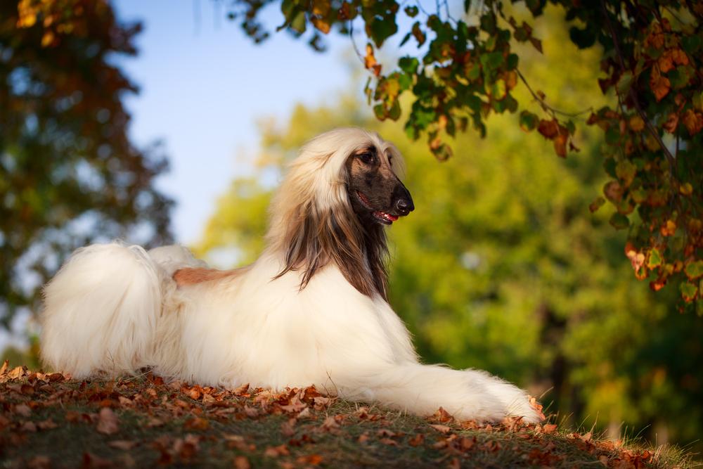 חשוב מאוד לאמן את האפגני למשמעת - LADOG - אילוף כלבים