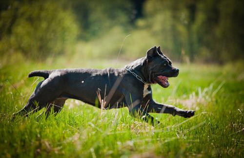 חשוב לתת לכלבי קאנה קורסו תנועה חופשית על בסיס יומי-LADOG