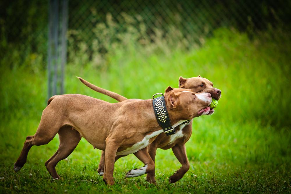 לכלבי פיטבול יצר משחק חזק- LADOG - כלבי פיטבול בצבע חום