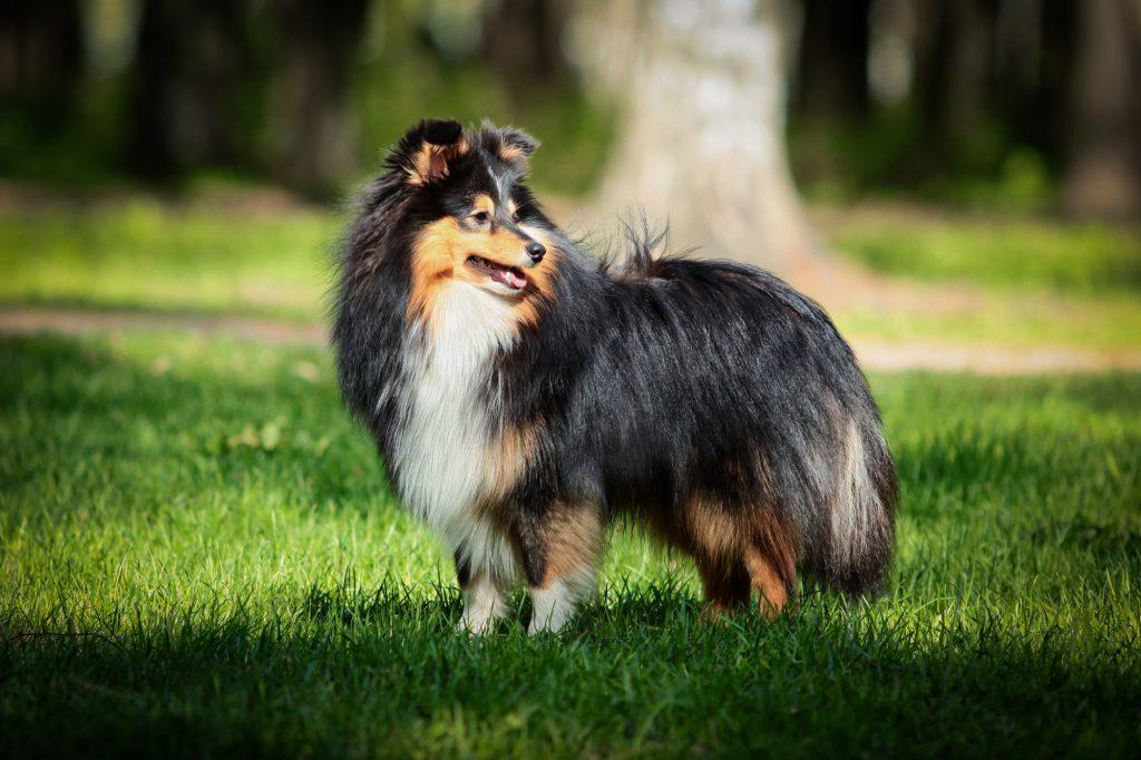 כלב שלטי שחור, לבן וחום - LADOG