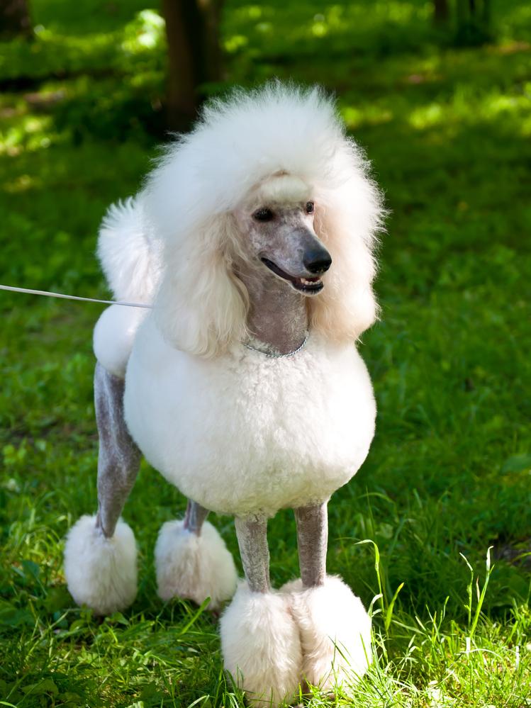 פודל ענק לבן - LADOG - אילוף מקצועי לכלבי פודל