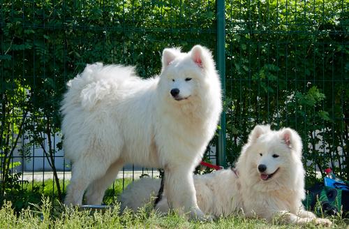 קורס אילוף לכלבי סמוייד-LADOG