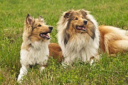 אילוף מקצועי לכלבי קולי - LADOG